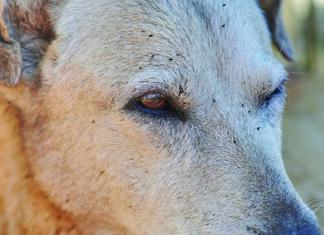 dog fleas